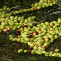 Huile d'olive bio et artisanale : achat en ligne et livraison