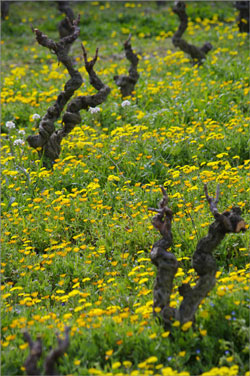 Marigolds in the vines